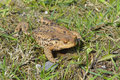 Common toad crossing the road Stock Images