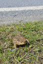 Common toad crossing the road Royalty Free Stock Images