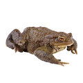 Common Toad or european Toad Royalty Free Stock Image
