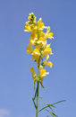 Common toadflax linaria vulgaris colorful and crisp image of Stock Images