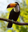 Common Toucan at wildness Royalty Free Stock Photo