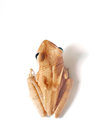 Common Tree Frog, Animal Isola...