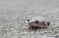 Common tree frog on the road is staying cement Stock Photo