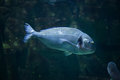 Common two-banded seabream Diplodus vulgaris Royalty Free Stock Photo