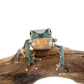 Common walking leaf frog isolated on white background Royalty Free Stock Photo
