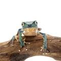 Common walking leaf frog isolated on white background Royalty Free Stock Photo