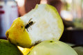 Common wasp on pear Royalty Free Stock Photo