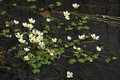 Common Water Crowfoot Royalty Free Stock Photo