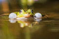 Common water frog with sound-bubbles Royalty Free Stock Photo