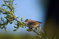 Common whitethroat in the spring morn Stock Image