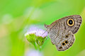 Common Wood Nymph Royalty Free Stock Photo