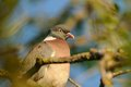 Common wood pigeon columba palumbus this bird belongs to the doves Stock Images
