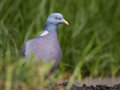 Common wood pigeon the columba palumbus is a large species in the dove and family Stock Photography