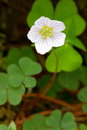 Common wood sorrel Royalty Free Stock Photography