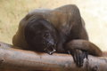 Common woolly monkey the wooly lying on the wood Stock Photography
