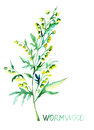 Common wormwood watercolor illustration artemisia absinthium Stock Images
