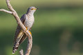 Common or Eurasian Cuckoo, Perched On Dead Branch