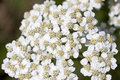 Common yarrow Royalty Free Stock Photo