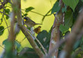 Common yellowthroat hiding in dense vegetation a new world warbler geothlypis trichas the cuban Royalty Free Stock Image