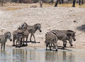 Common zebra plains equus quagga also known as the or burchell s drinking water in tarangire in tanzania africa Royalty Free Stock Images
