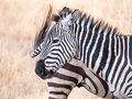 Common zebra plains equus quagga also known as the or burchell s in ngorongoro crater in tanzania africa Royalty Free Stock Photography