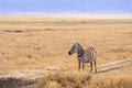 Common zebra plains equus quagga also known as the or burchell s in ngorongoro crater in tanzania africa Stock Images