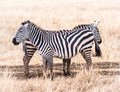 Common zebra two plains zebras equus quagga also known as the or burchell s in ngorongoro crater in tanzania africa Royalty Free Stock Photo