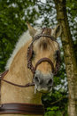 Companion animals horses detailed portrait of a fjorden horse with brown bridle Stock Photos