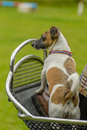 Companion animals horses portait of a jack russell terrier standing in on carriage Stock Photography