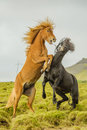 Companion Animals - Horses Royalty Free Stock Photo
