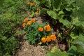 Companion Plants Royalty Free Stock Photo