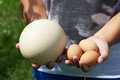 Compare chiken and ostrich eggs in woman hands on sunny weather Royalty Free Stock Images