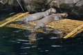 A complete happy family of Giant River Otter in a zoo Royalty Free Stock Photo