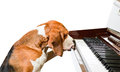 Composer dog playing the piano isolated on a white background Stock Image