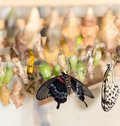 Composite of various views of a monarch emerging from a chrysalis. Royalty Free Stock Photo
