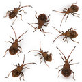 Composition of Dock bugs, Coreus marginatus Royalty Free Stock Photo