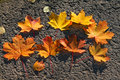 A composition of maple leaves Royalty Free Stock Photo