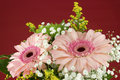 Composition of pink Gerbera flowers on red background Royalty Free Stock Photo