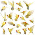 Composition of Rosy-faced Lovebird flying Royalty Free Stock Photography