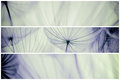 Composition - Vintage watercolor abstract background - monochrome dandelion flower Royalty Free Stock Photo