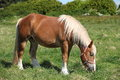 Comtois horse in franche comté france a cart is grazing grass Royalty Free Stock Images