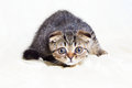 Concentrated Scottish Fold Kitten Ready To Jump Royalty Free Stock Photos