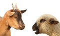 Concept with animals arguing young sheep and brown goat over white background Royalty Free Stock Photos