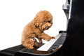 Concept of cute poodle dog playing piano in white background Royalty Free Stock Photo