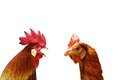Concept of family argue with two isolated birds rooster and hen Stock Photos