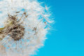 Concept of freedom. Overblown dandelion with seeds flying away with the wind. Copy space Royalty Free Stock Photo