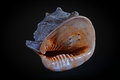 Conch beautiful housing photographed on black background Royalty Free Stock Images