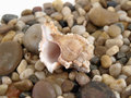 Conch and Pebbles Royalty Free Stock Photos