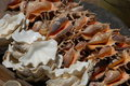 Conch Seashells Stock Images