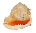 Conch shell. Stock Photography